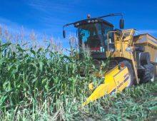 Кукуруза «6 соток»